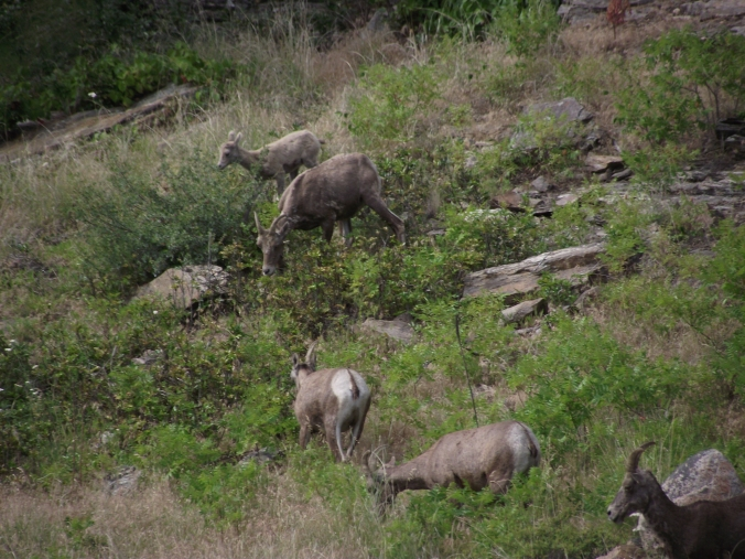 Bighorn Sheep Vaseaux Lake Herd