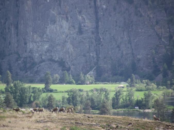 Bighorn Sheep Vaseaux Lake Herd
