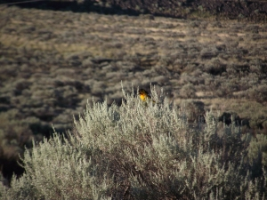 Juniper Beach_Bullocks Oriole2