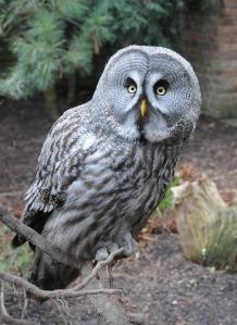 https://pixabay.com/en/owl-bird-night-kautz-eyes-171646/