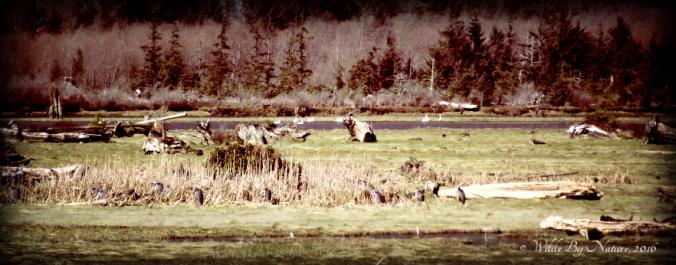 heronsswans