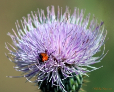 Blister-Beetle-on-thistle-01