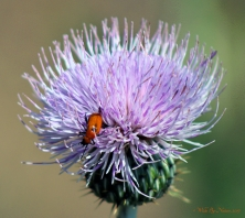 Blister-Beetle-on-thistle-02