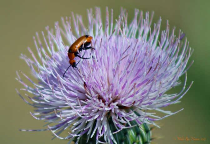 Blister Beetle on Bull Thistle