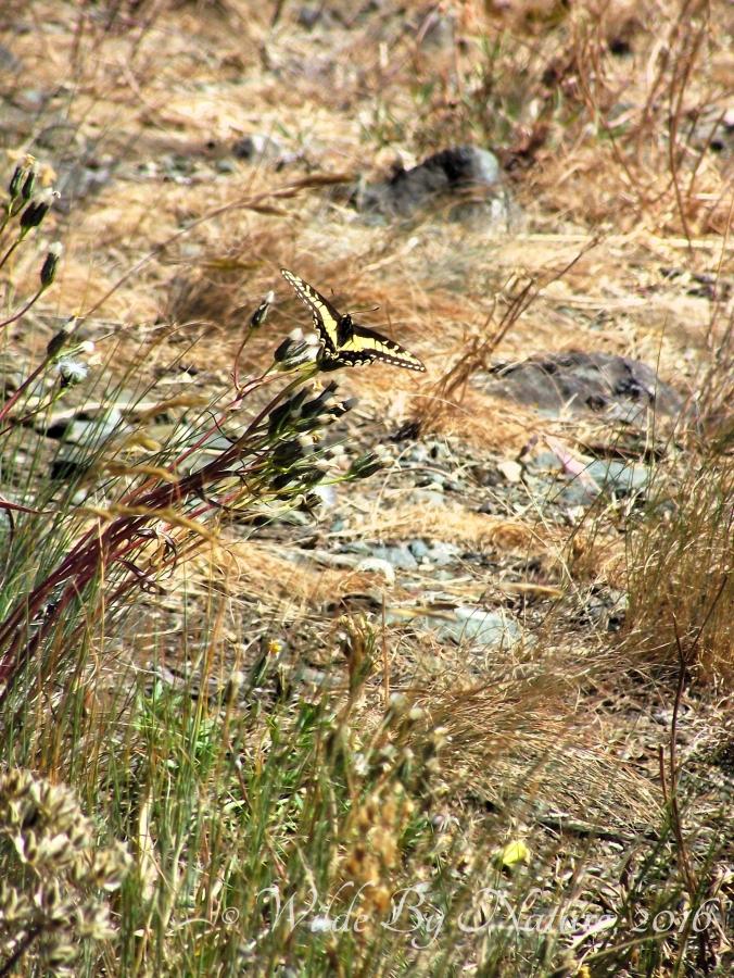 kobau_swallowtail
