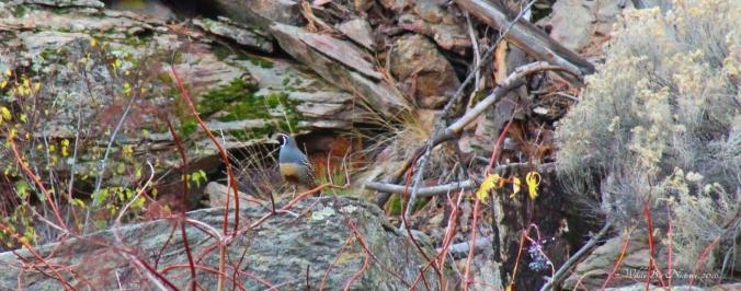 quail-male