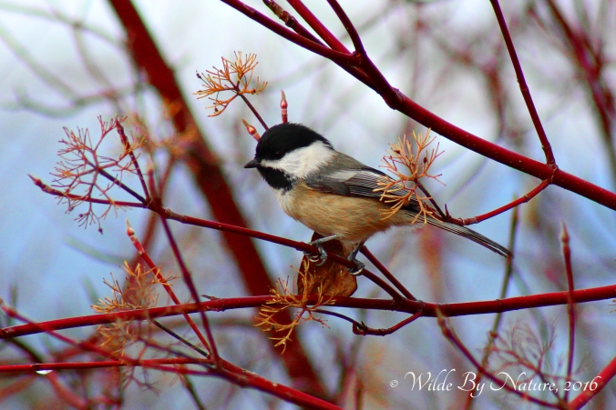 pacific-slope-bc-chickadee