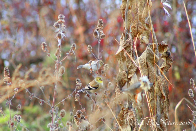 winter-american-goldfinch-2