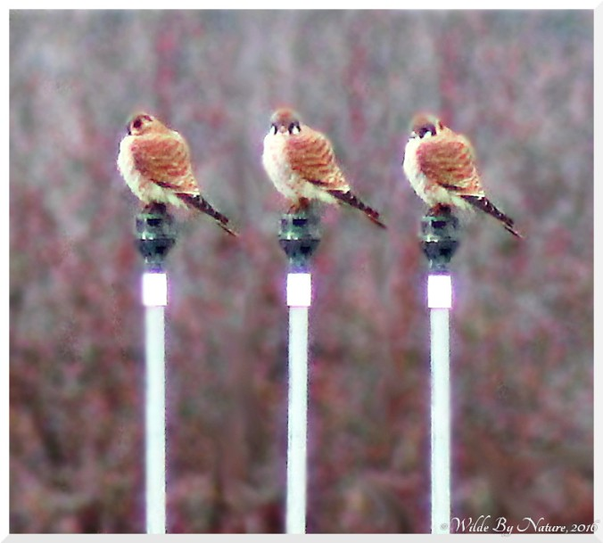 3-kestrels-does-not-a-pergrine-make