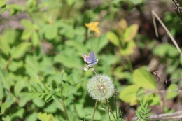 Blue-with-Dandelion-Seedhead-04