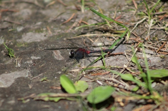 Hudsonian Whiteface (Leucorrhinia hudsonica)