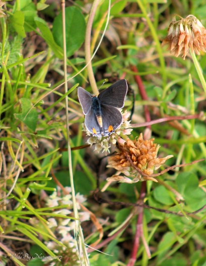 Grey-Hairstreak