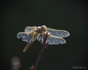 Red-veined Meadowhawk (S. madidum) From many angles.
