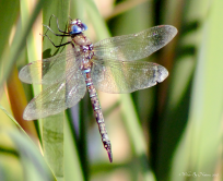 Blue-eyed Darner (A. multicolor)