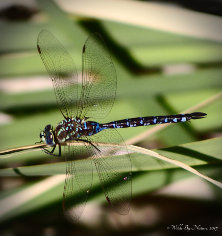 Lance-tipped Darner (A. constricta)