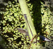 Lyre-tipped Spreadwing (Lestes unguiculatus))