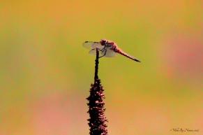 Unknow Meadowhawk (Sympetrum)