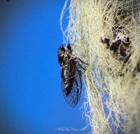 Okanagan-Cicada-011