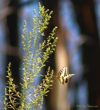 Papilio-01