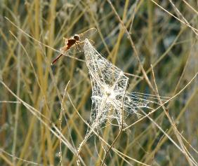Saffron-winged Meadowhawk (S. costiferum)