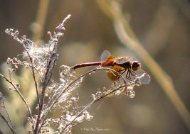 Western Meadowhawk (S. occidentalis)