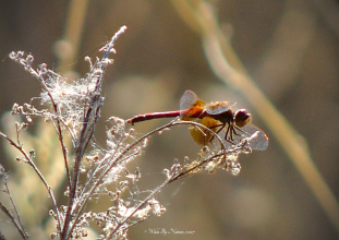 Western Meadowhawk (S. occidentalis)