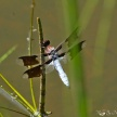Male Common Whitetail (Plathemis lydia)