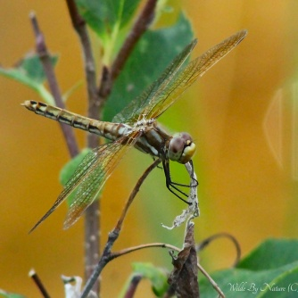 Yellow Female Red-veined Meadowhawk (S. madidum)
