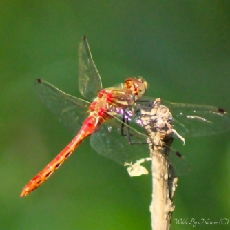 Striped Meadowhawk, 1 of 2