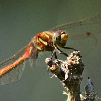 Striped Meadowhawk, 2 of 2