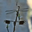 Male Four-spotted Skimmer perched above a Male Common whitetail