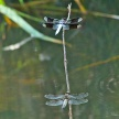 Male Common whitetail perched above a male Four-spotted Skimmer