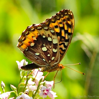 Female Great Spangled Fritillary